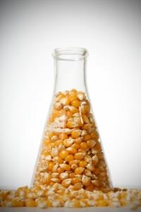 Monsanto corn in mice