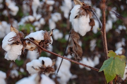 BT Cotton and Farmer Suicides