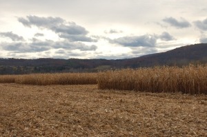 Not a sky scraper in sight: partially harvested corn with rolling New York hills in the background.